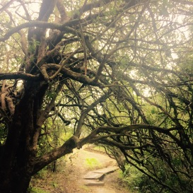 Old Milkwood Tree